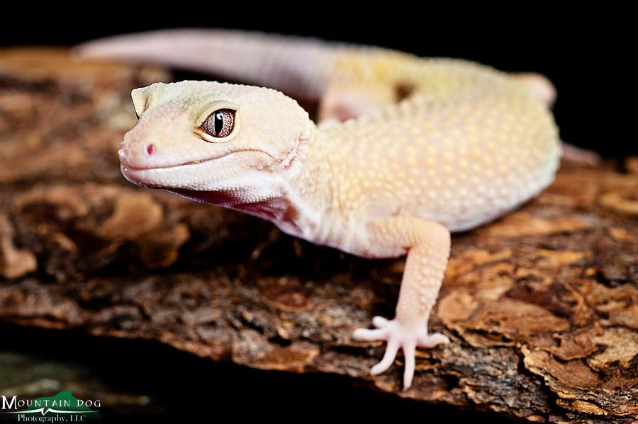 Diesel, leopard gecko