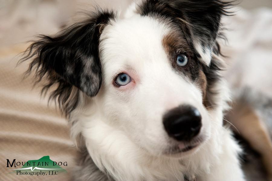 Bru, an impossibly cute 8 month old mini aussie