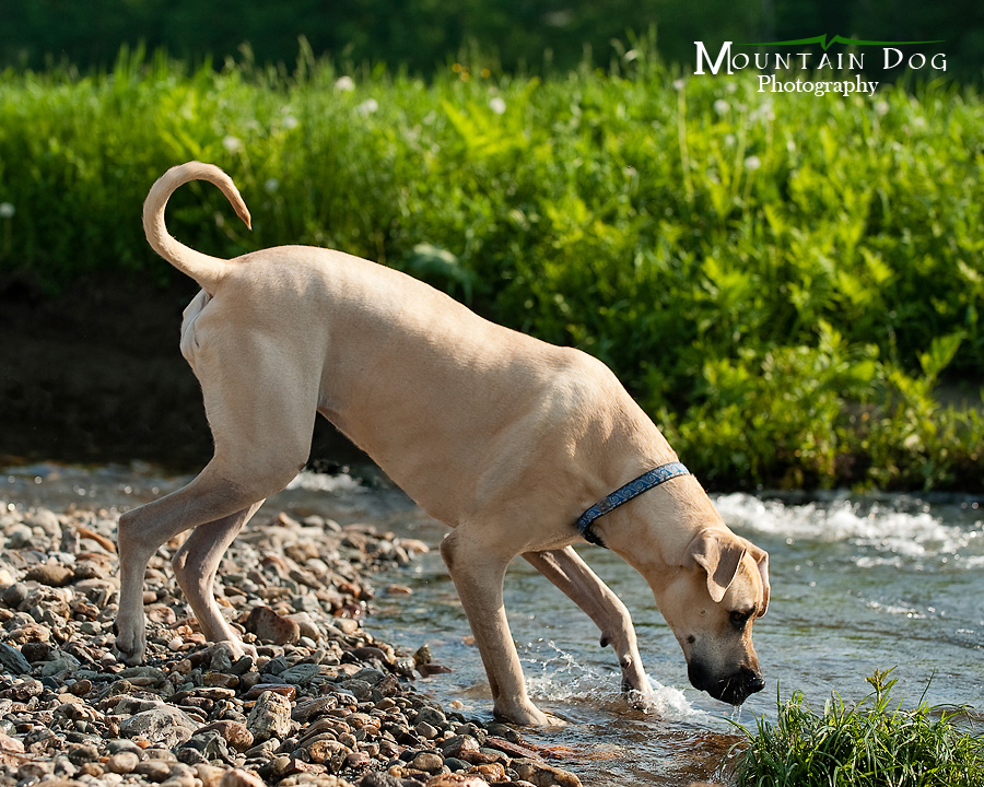 We started the session with Galley, in the stream behind their house. She looooves water!